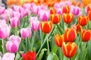 PG-tulips