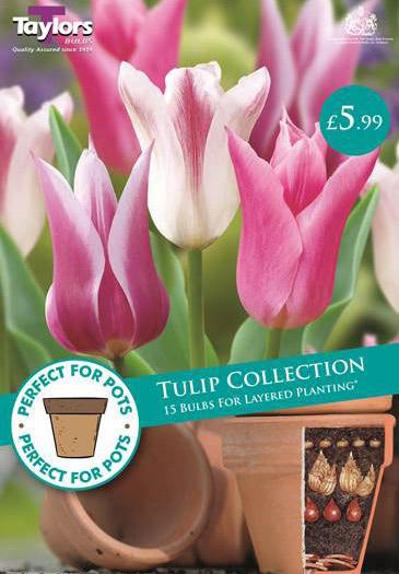 PP-tulip2