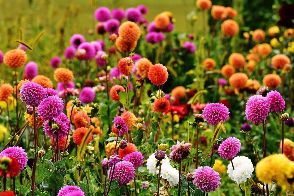 Background Dahlias