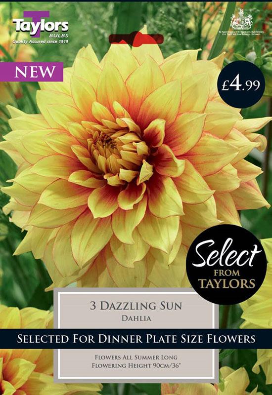 summer-flowering-bulbs-dahlia-dazzling-sun
