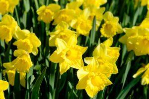 PG-daffodils