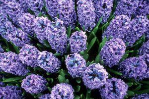 PG-hyacinths