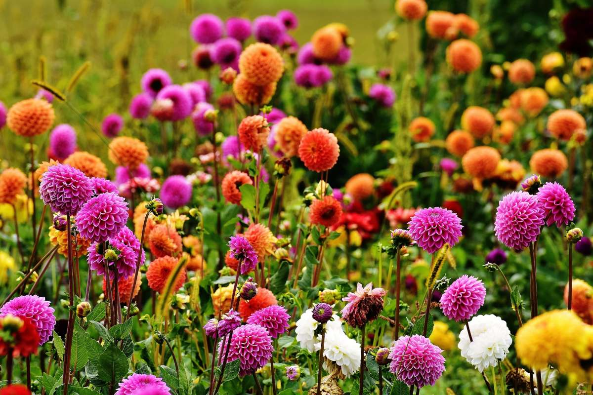 Growing Dahlias Taylors Bulbs