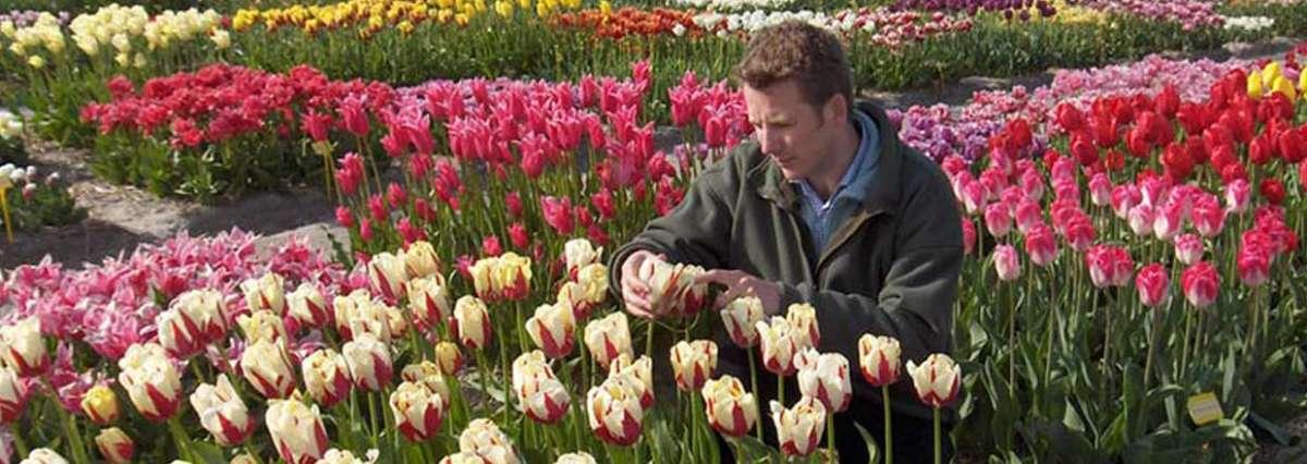 Adam Taylor Tulips